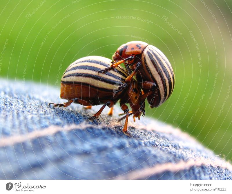 in duplicate 2 Brown Striped Potatoes Beetle Dance cataract beetle piggyback Macro (Extreme close-up) Summer In pairs Pair of animals