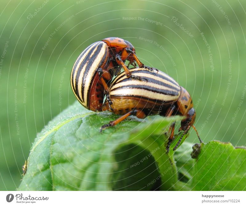 little beetle Field Brown Green Potatoes Beetle sheepish hour Nature Life