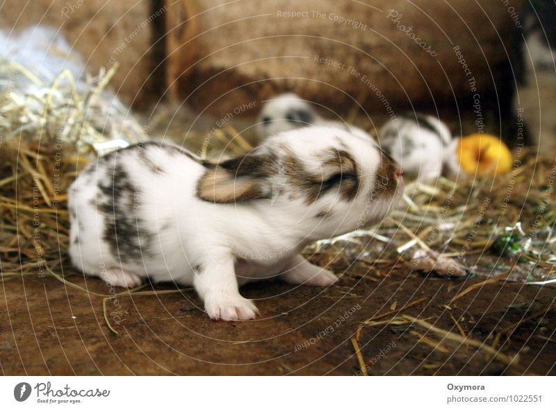 Bunny 2 Animal Pet Hare & Rabbit & Bunny 1 Group of animals Baby animal Animal family Crawl Cuddly New Soft Brown Black White Spring fever Colour photo