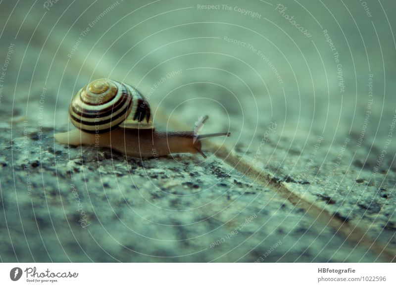 at snail's pace Animal Snail 1 Slimy Serene Refrain Slowly Slow motion leisurely coarseness Calm Snail shell Colour photo Subdued colour Exterior shot