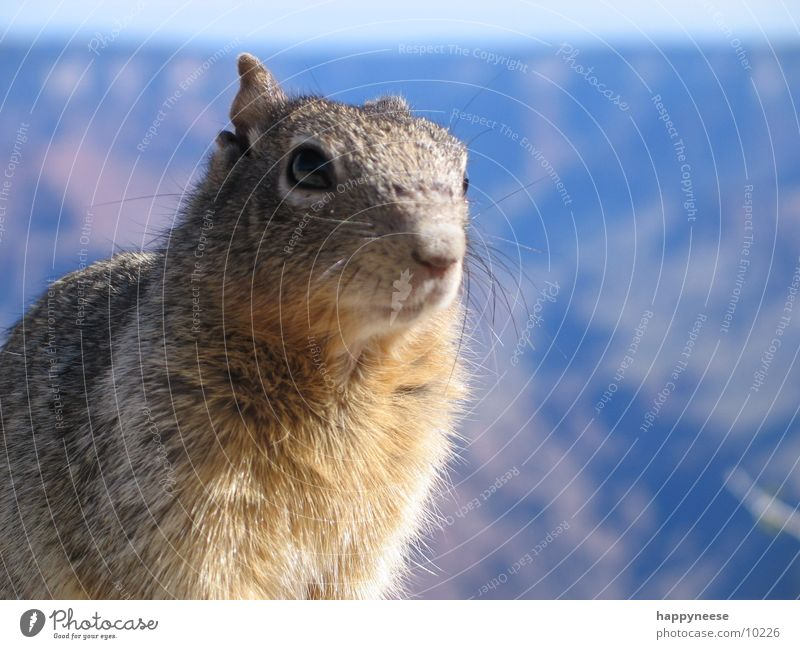 squirrel in the canyon Squirrel Grand Canyon Pelt Odor Transport USA Looking Eyes