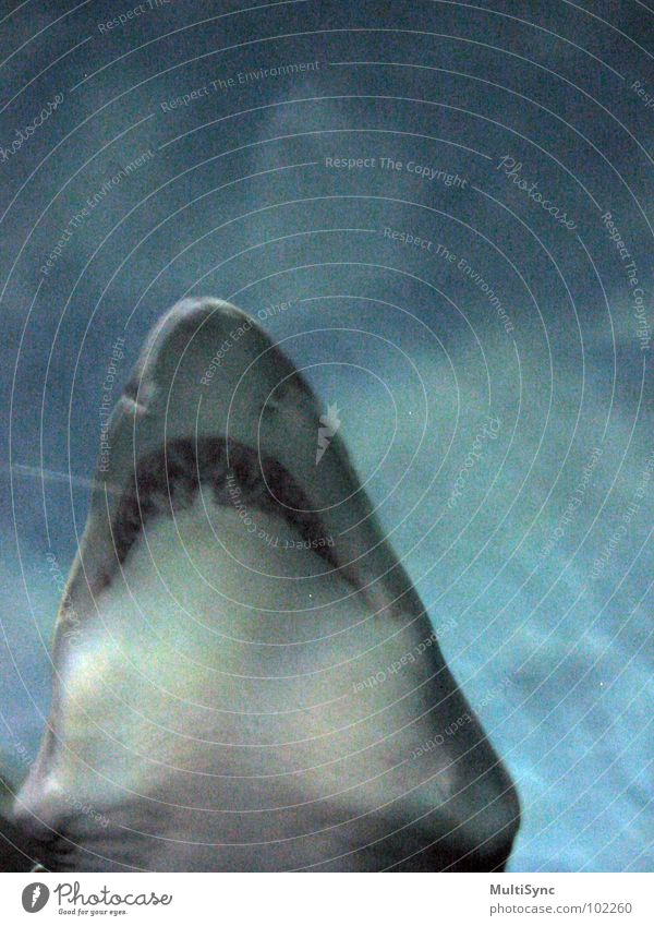shark Shark Dangerous Ocean Underwater photo Predatory fish Fish Water Threat the great teeth Respect