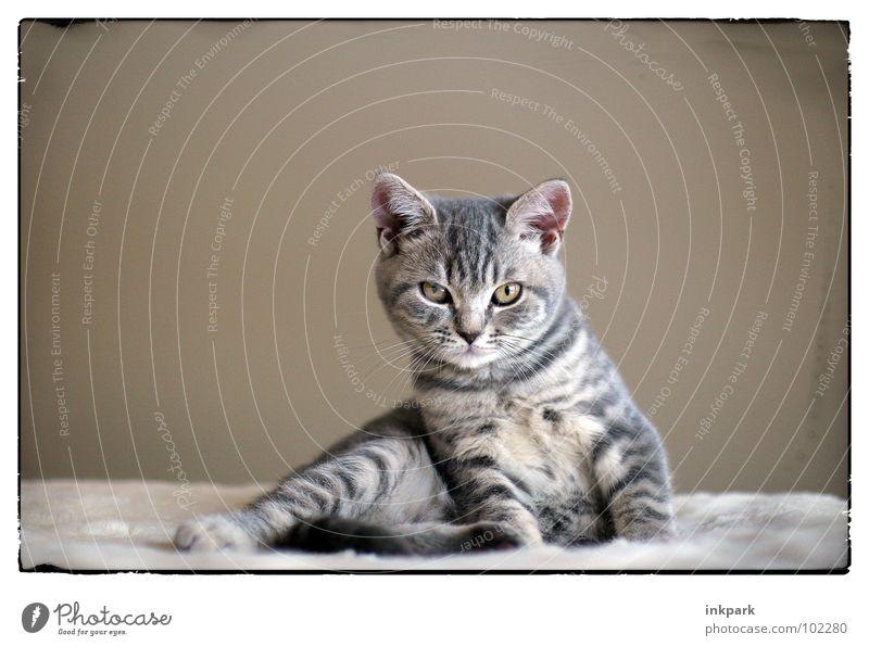 the little diva Cat Relaxation Wake up Looking Mammal won Frame Tilt