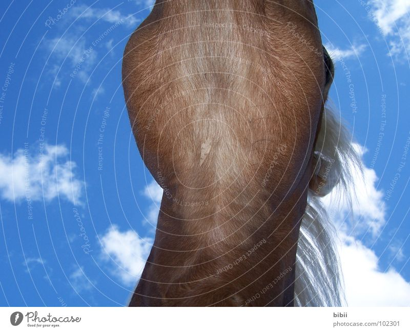 Sky horse - Pegasus Clouds Horse Gullet Mane Haflinger Relaxation Dream Dangerous Trust Worm's-eye view Horse's eyes Horse's head Sleep Scratch Animal