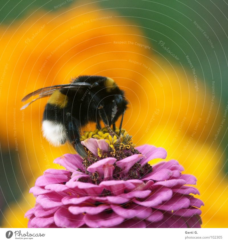 bumblebee Bumble bee Bee Bee-keeper Yellow Pink White Black Striped Marigold Defense against snails Nectar plant Stamen Large Force Animal Insect Bow