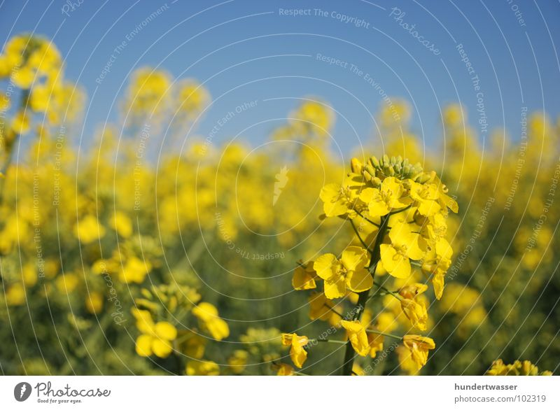 Nature Flower Blue Plant Blossom Landscape Blossoming Canola