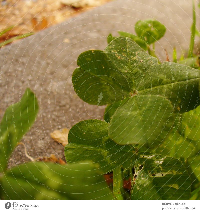 Green Joy Meadow Happy Lanes & trails Search Lawn Exceptional Stalk Find Clover Cloverleaf Characteristic Visible Coincidence Good luck charm