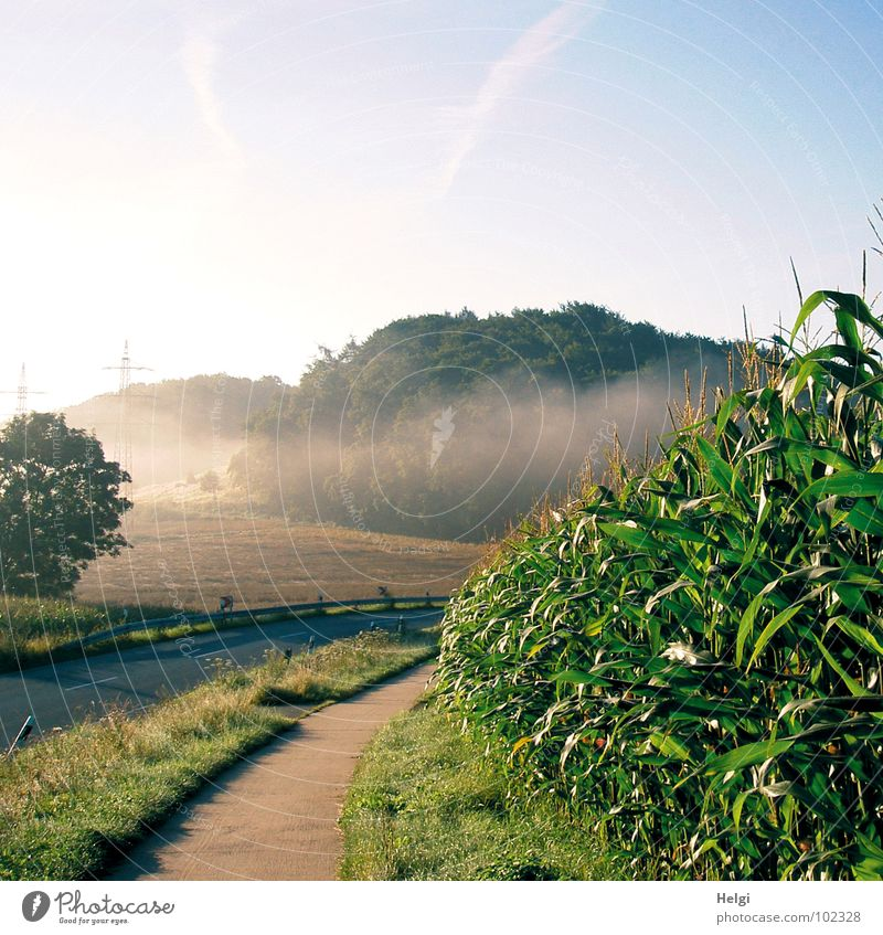 rural landscape with road, bicycle path, cornfield and trees with wafts of mist Fog Fog bank Morning Field Forest Tree Maize field Blossom Grass Green Brown