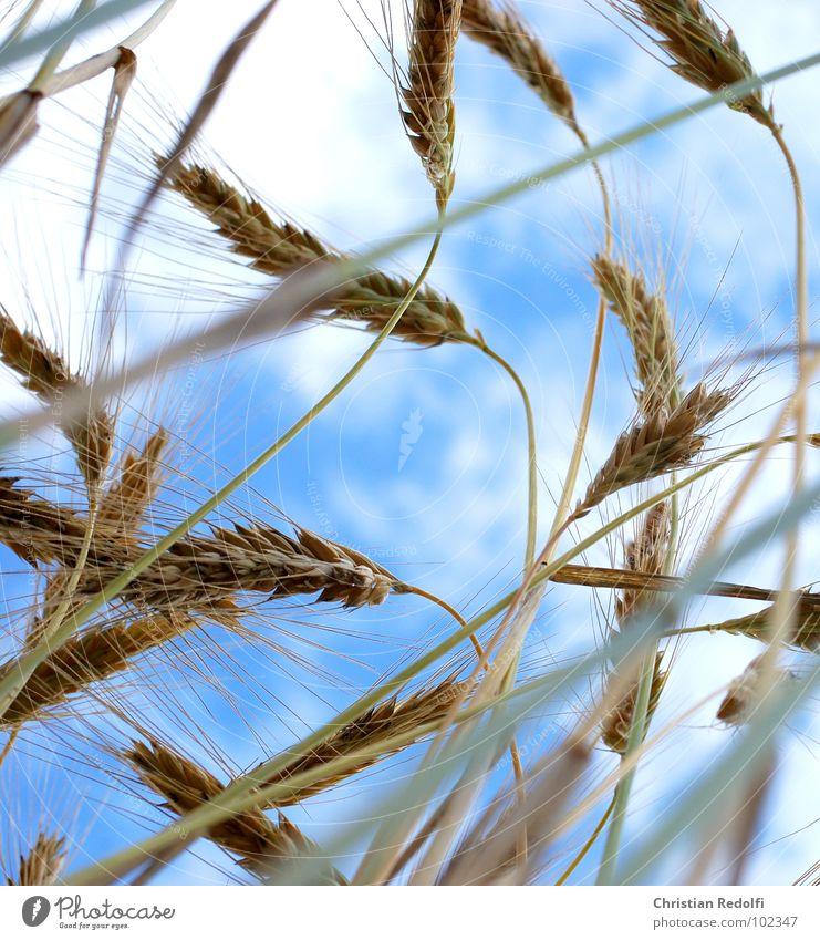 corn Barley Sweet grass Grass Food Worm's-eye view Stalk Blade of grass Summer Sky Barley ear Mature