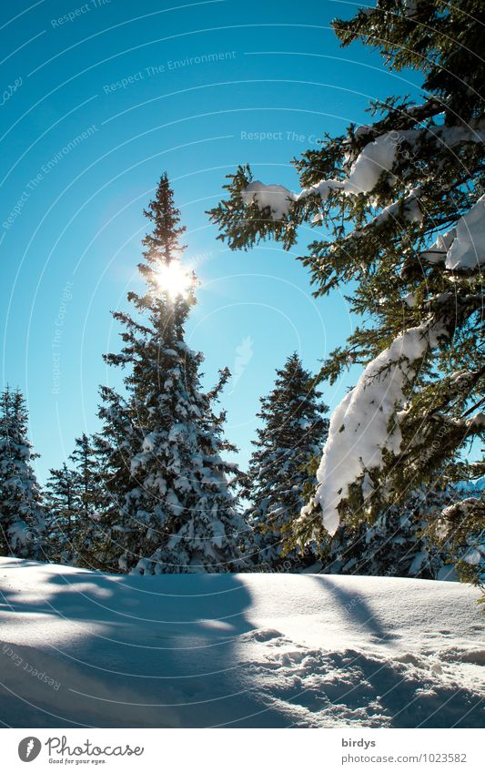winter forest Nature Landscape Cloudless sky Sun Sunlight Winter Beautiful weather Ice Frost Snow Fir tree Coniferous forest Forest Glittering Illuminate