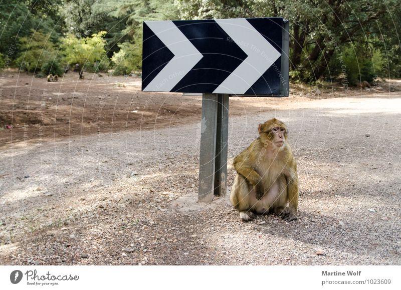 DA GEHTS LANG Morocco Africa Street Road sign Wild animal Monkeys Barbary ape 1 Animal Break Groundbreaking Colour photo Exterior shot Deserted