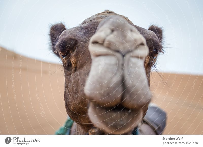 Camelface Morocco Africa Farm animal Dromedary 1 Animal Vacation & Travel Beautiful Erg Chebbi Merzouga Province of Errachidia Eyelash Colour photo