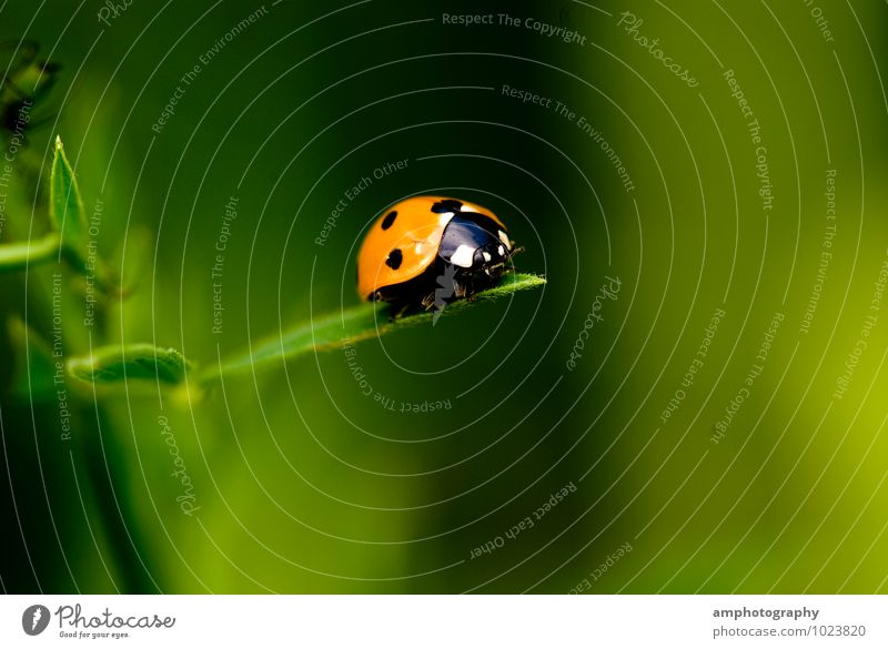 ladybugs Animal Beetle Ladybird 1 Discover To enjoy Crawl Looking Beautiful Green Orange Relaxation Experience Nature Curiosity Risk Environment Far-off places