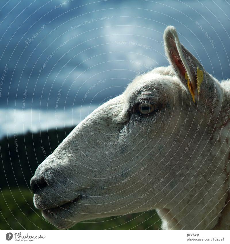 sweater pig Sheep Clouds Meadow Tree Lips Eyelash Profile Label Captured Stupid Think Sweet Beautiful Attractive Wool Lamb's wool Mammal Peace Sky muttonhead