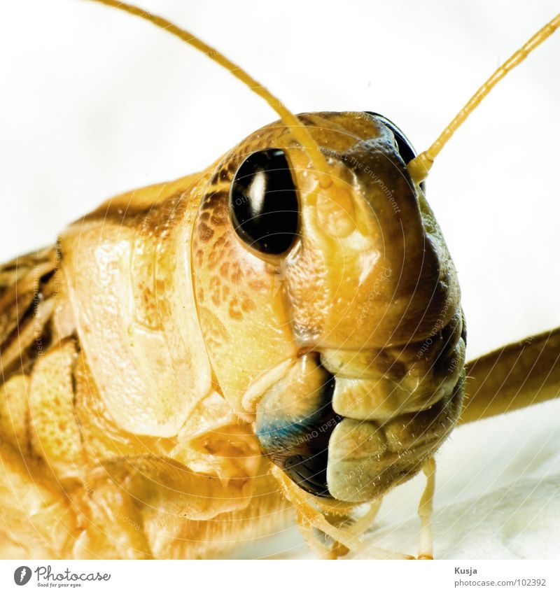 Summer Animal Eyes Yellow Jump Large Might Insect Living thing Hop Locust House cricket