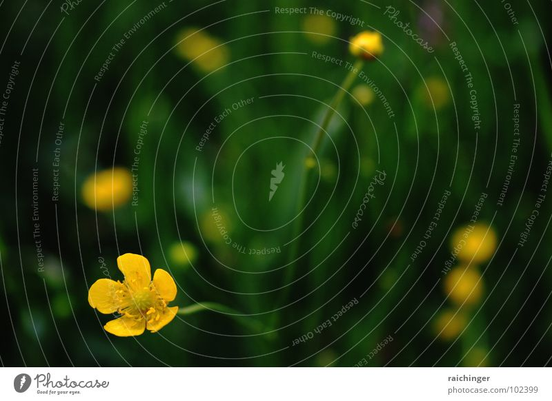 Nature Beautiful Green Summer Yellow Life Meadow Grass Simple Flower meadow Barefoot Simplistic Decent Crowfoot