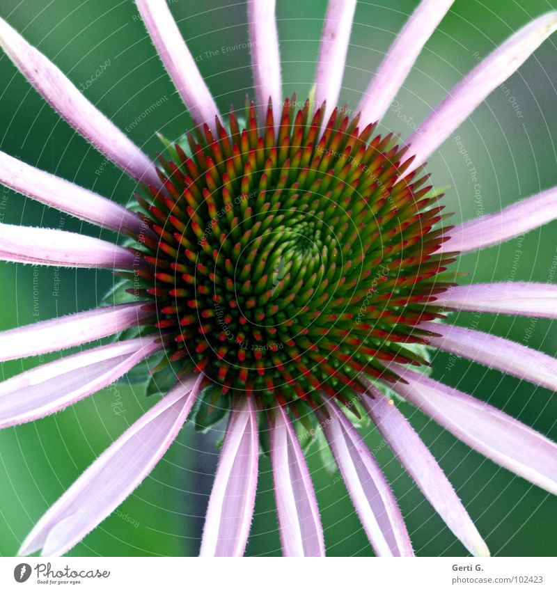 original Flower Blossom Green Wheels Blossom leave Abstract Thorny Purple cone flower Daisy Family Plant Ornamental plant Medicinal plant Sunlight Healthy