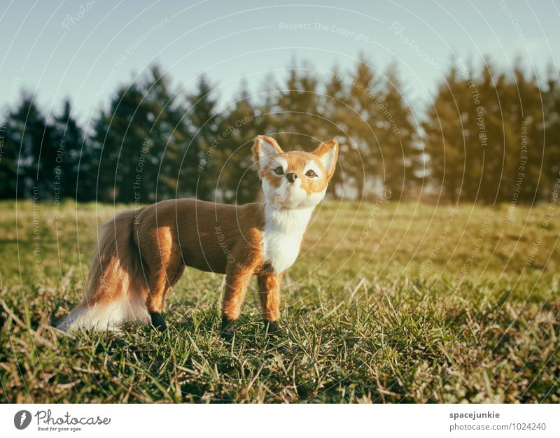 Mr. Fox. Environment Nature Landscape Cloudless sky Spring Winter Beautiful weather Bushes Meadow Field Forest Animal 1 Observe Authentic Exceptional Brown