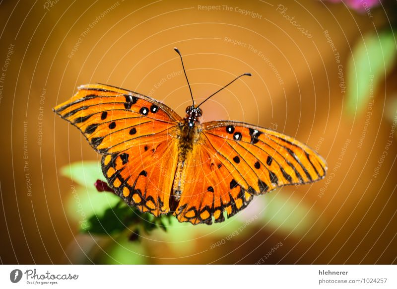 Queen Danaus Gilippus Beautiful Calm Summer Garden Nature Plant Animal Flower Butterfly Wing Small Natural Green Black White Insect colorful pretty wildlife