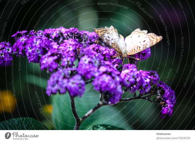 White Peacock Anartia Jatrophae Beautiful Nature Animal Antenna Butterfly Wing Natural Cute Brown Black Insect orange colorful wildlife spots pretty