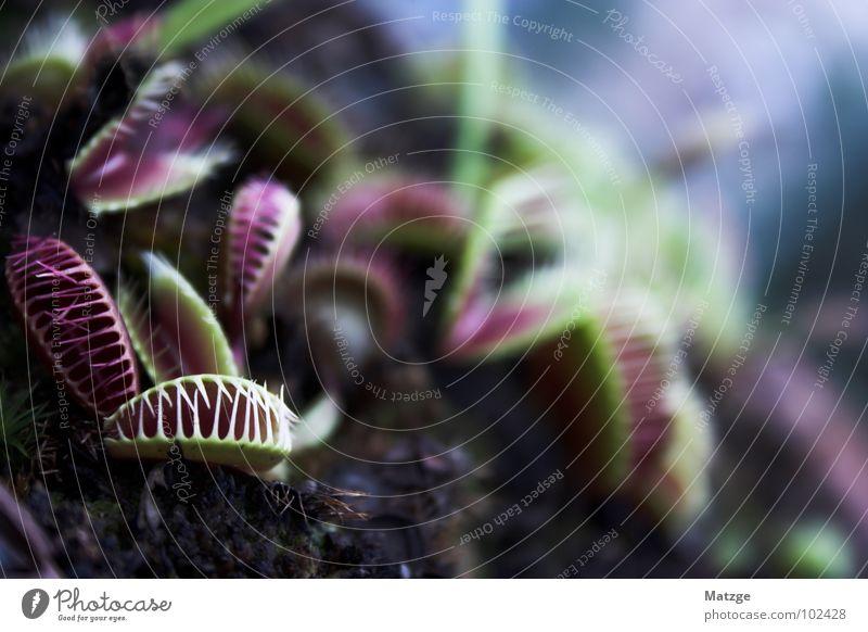 Green Plant Red Dark Dangerous Ambush Carnivore Carnivorous plants Flytrap Venus' flytrap