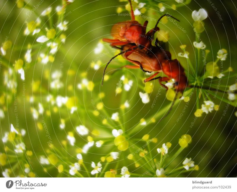 It's A Bug Porno Red Bow Russet Beetle Offspring Insect Open Grass Green White Blossom Flower Consecutively Together Pornography Macro (Extreme close-up) Fine