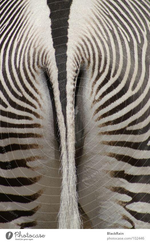 strips Zebra Zoo Stripe Black White Tails Good mood Animal Odd-toed ungulate Mammal schonnenschein