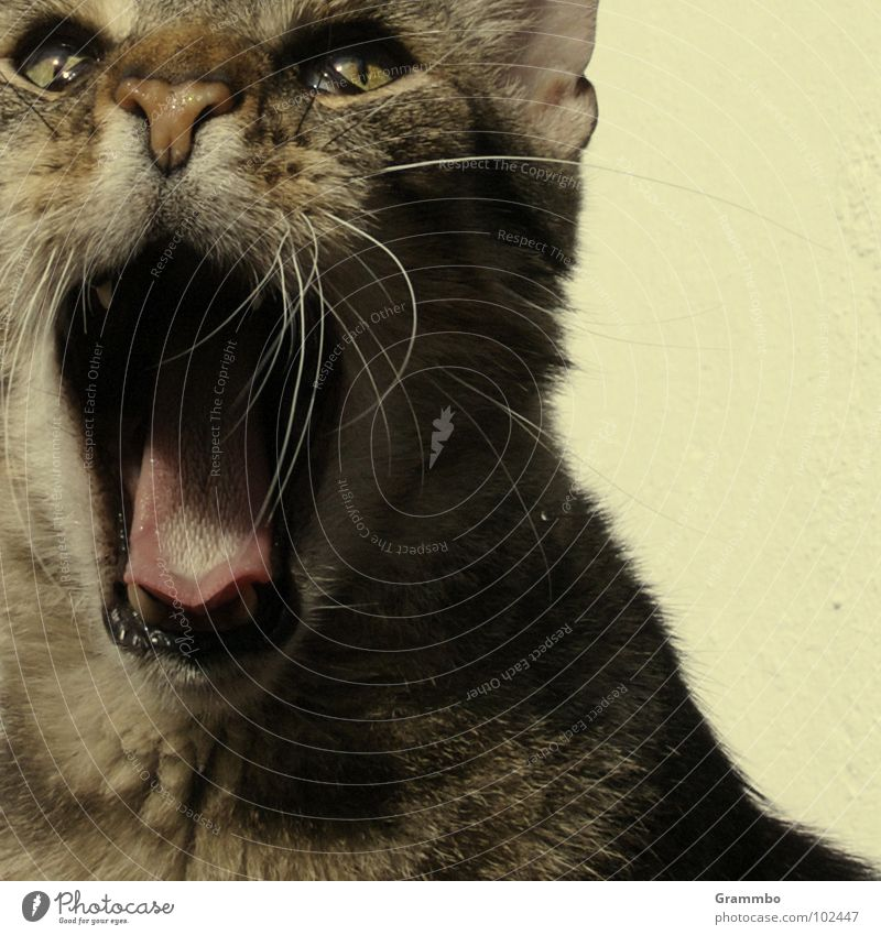 Cat Pelt Facial hair Scream Mammal Tongue Loud Animal Muzzle Amazed Frightening Crash Tear open