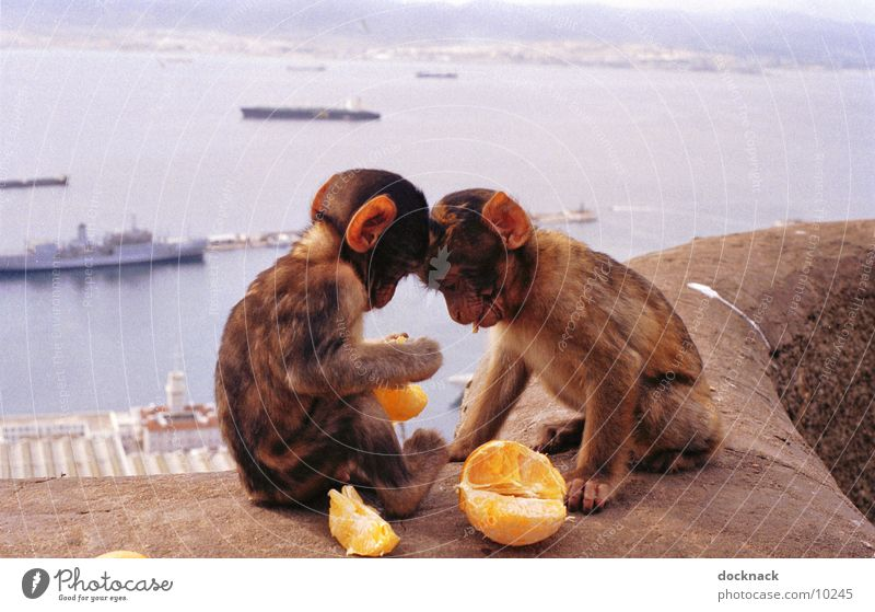 Fruit is healthy... Monkeys Young monkey Orange Sweet Cute Gibraltar To feed Feeding