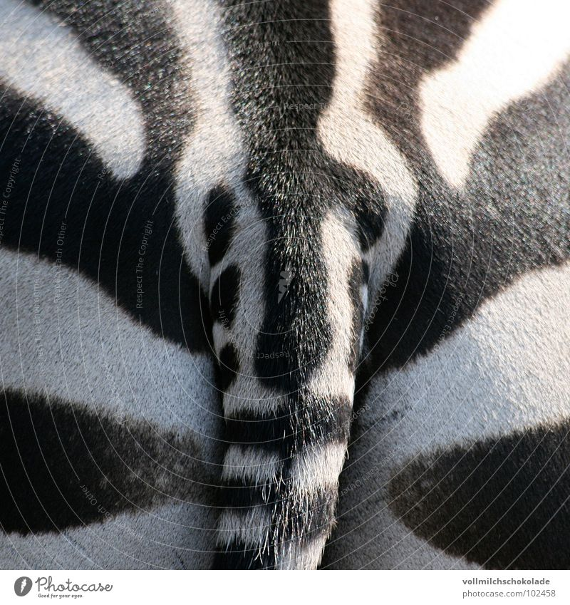 Strip ass. Stripe Zebra White Black Tails Animal Savannah Africa Zoo Symmetry Fart Bottom Mammal Patch Bangs Contrast poet Musculus Maximus Excretion
