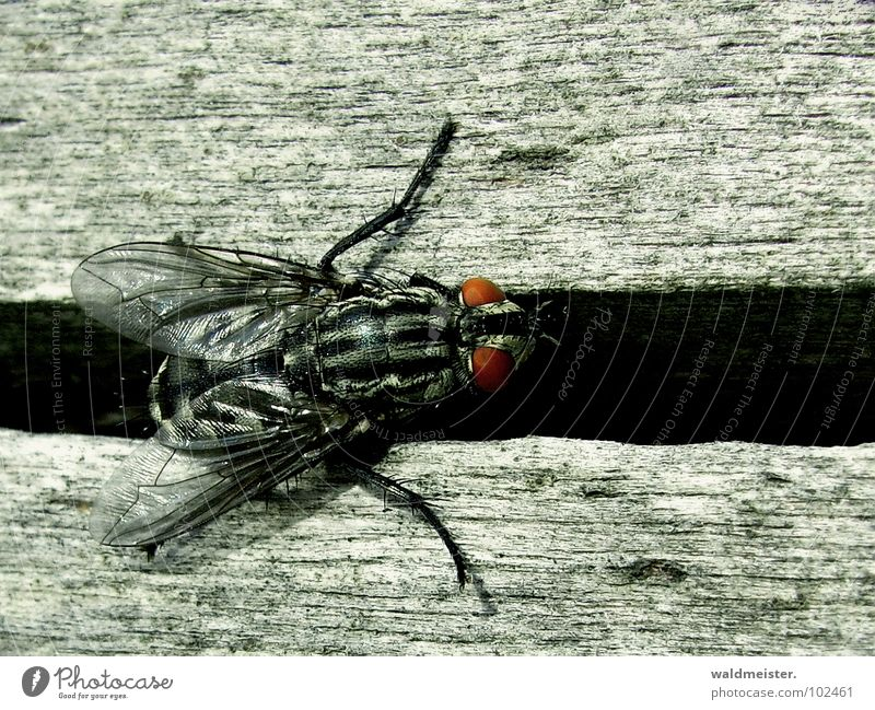 Gap and Fly II Insect Flesh fly Macro (Extreme close-up) Column Furrow Crawl Disgust Dark bothersome Eyes