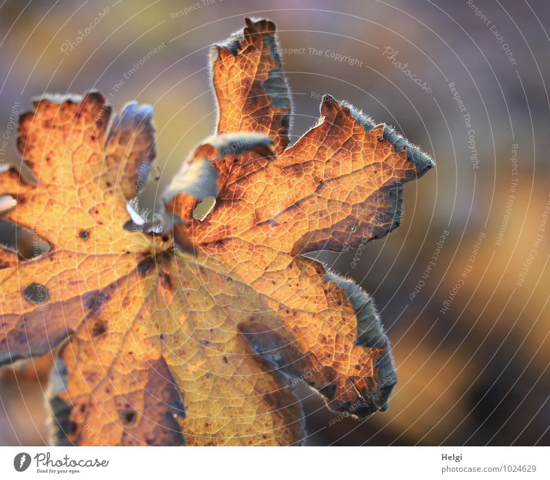 What a mess of summer leftovers. Environment Nature Plant Autumn Beautiful weather Leaf Maple leaf Rachis Park Old Illuminate To dry up Authentic Natural Dry