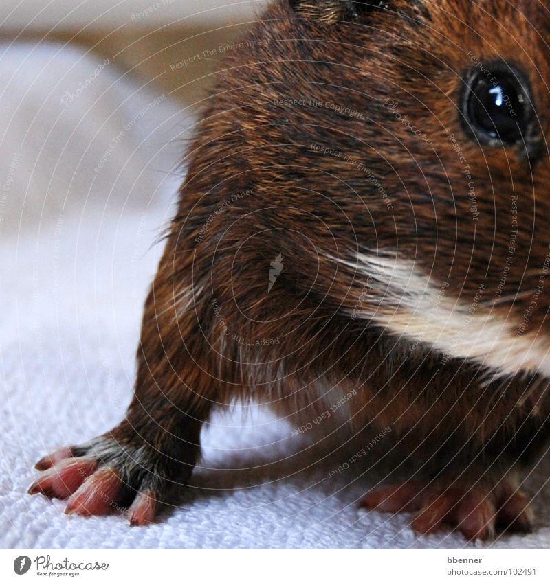 Mrs Röhrich II Guinea pig Paw Claw Pelt Brown White Cute Moustache hair Towel Animal Mammal Legs Eyes