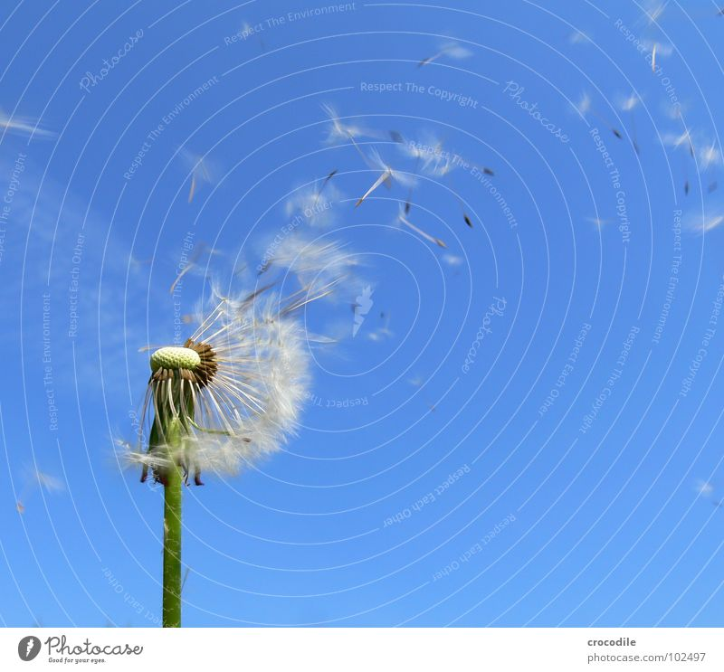 Attention, seed invarsion! Dandelion Blue sky Stalk Offspring Green Propagation Seed Flying Freedom Sail Umbrella