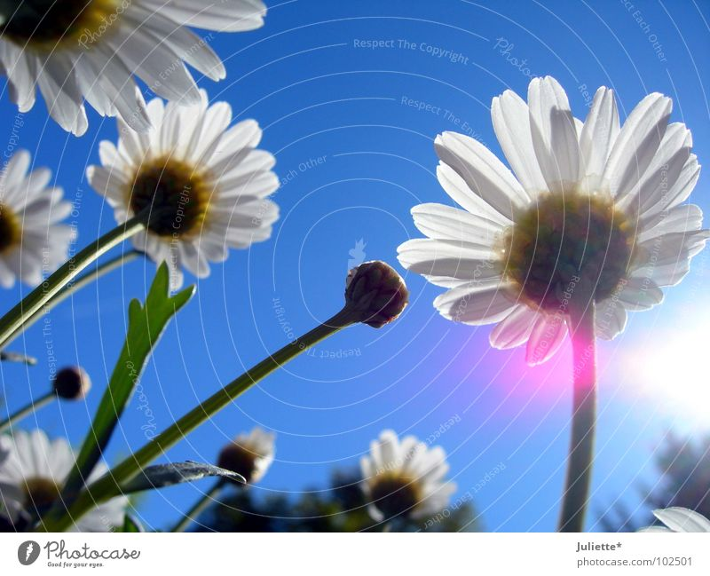 Beautiful Sky White Sun Flower Blue Colour Spring Lighting Pink Fresh Against