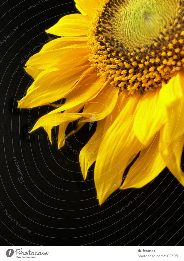 Summer Yellow Life Blossom Food Growth Blaze Nutrition Bee Burn Flame Sunflower Stamen Nectar Yolk Flicker the tongue