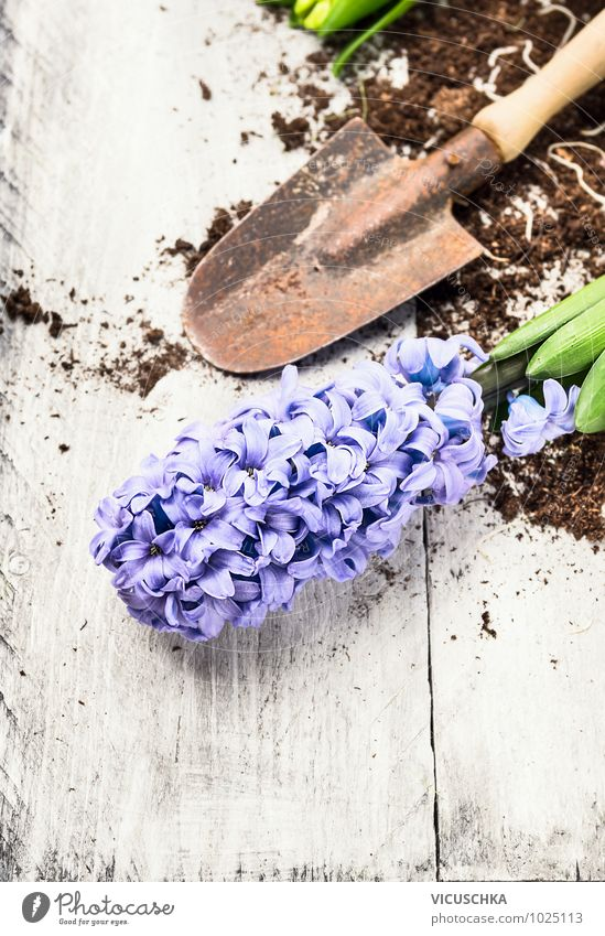 blue hyacinth and shovel with earth Lifestyle Style Design Leisure and hobbies Garden Nature Plant Spring Flower Background picture Equipment Hyacinthus