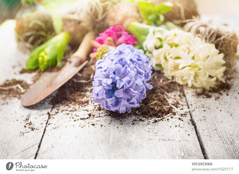 Hyacinth and shovel on white wooden table Style Design Leisure and hobbies Summer Garden Decoration Nature Plant Spring Flower Background picture Hyacinthus