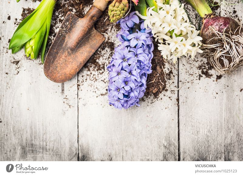 Hyacinth flowers, bulbs, tubers and shovel Style Design Garden Decoration Nature Plant Spring Flower Leaf Blossom Park Background picture Gardening Onion Bulb