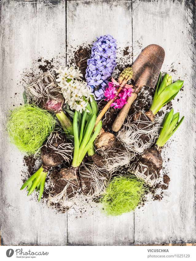 Spring flowers hyacinth with onions, tubers and shovel Style Design Leisure and hobbies Summer Garden Decoration Nature Plant Flower Violet Pink White Composing