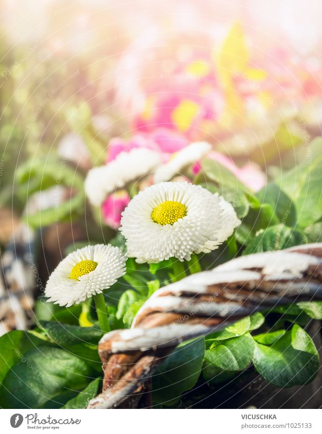 Daisies in spring garden Style Design Summer Garden Decoration Nature Plant Sunlight Spring Beautiful weather Flower Park Yellow Green Pink Daisy