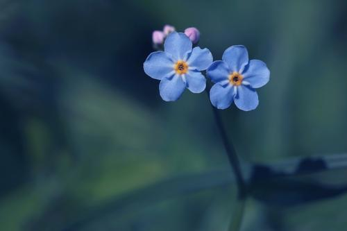 two blue forget-me-not flowers hold together Forget-me-not Domestic blue flowers blue blossoms native wild plants at the same time romantic flowers