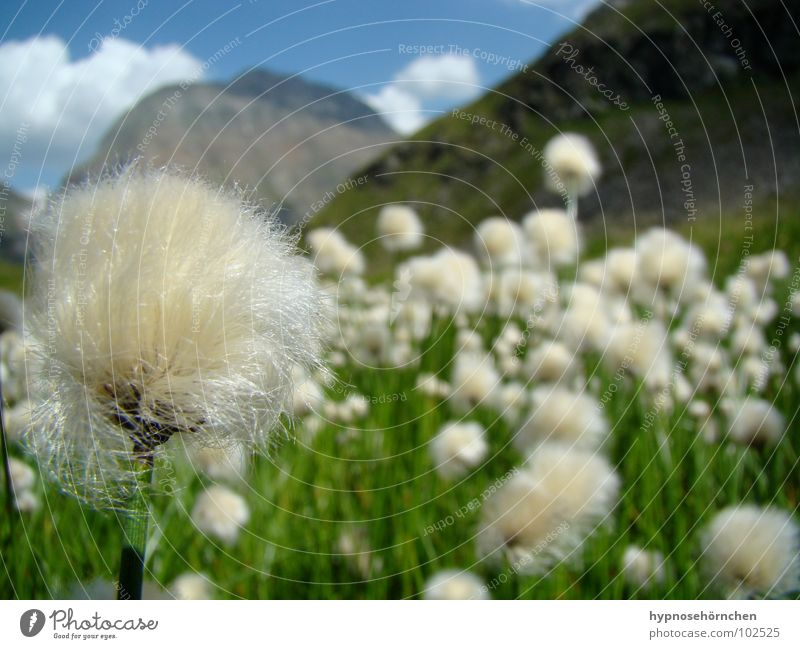 fluffy Vacation & Travel Austria Flower Clouds Dandelion Soft Meadow Green White Depth of field Grass Cotton grass Mountain Summer Sky Beautiful weather Blue