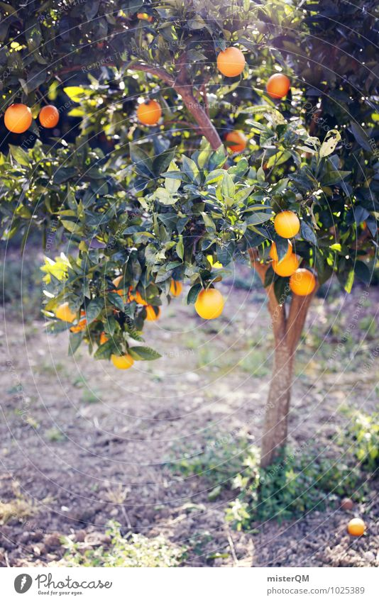 Nature Tree Healthy Eating Landscape Environment Health care Growth Orange Esthetic Delicious Harvest Mature Fruit trees Vitamin C Orange juice Orange tree