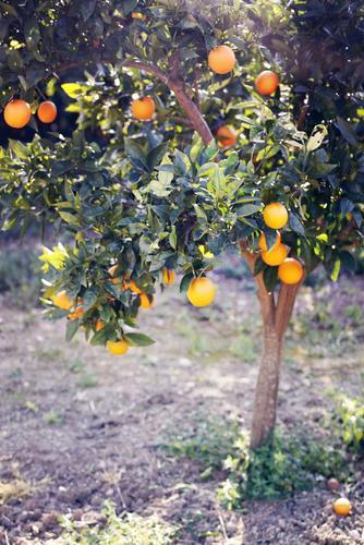 Nature Tree Healthy Eating Landscape Environment Health care Growth Orange Esthetic Delicious Harvest Mature Fruit trees Vitamin C Orange juice Orange tree