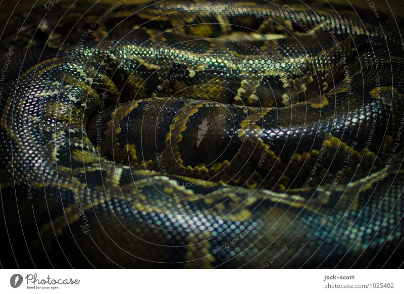 Snake Nest Anacondas 2 Animal Pair of animals Stripe Relaxation Lie Wait Threat Creepy Long Astute natural Force Might Safety (feeling of) Secrecy Watchfulness
