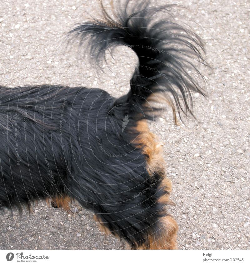 attentive and fearless.... Dog Small Crossbreed Dachshund Yorkshire terrier Tails Fishing rod Vertical Brave Watchfulness Alert Black Brown Gray Stand