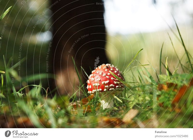 Nature Plant Green White Red Forest Environment Autumn Grass Natural Bright Beautiful weather Mushroom Poison Wild plant Mushroom cap