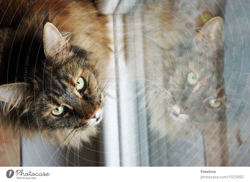 Please. May I go outside? Animal Pet Cat Animal face Pelt 1 Elegant Near Curiosity Soft Cat's ears Cat eyes Shutter Window pane Maine Coon purebred cat