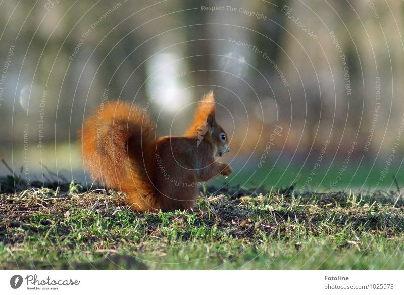 Puschel Environment Nature Plant Animal Elements Earth Spring Grass Garden Park Meadow Bright Small Green Red Squirrel To feed Soft Colour photo Multicoloured